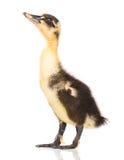 逗人喜爱的新出生的鸭子 免版税库存图片