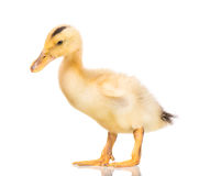 逗人喜爱的新出生的鸭子 库存图片