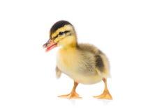 逗人喜爱的新出生的鸭子 库存照片