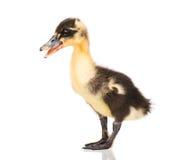 逗人喜爱的新出生的鸭子 图库摄影