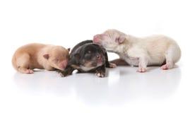 逗人喜爱的新出生的pomeranian小狗 免版税库存图片