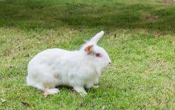 逗人喜爱的新西兰白色兔子,在绿草的狮子顶头兔子 免版税库存图片