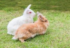 逗人喜爱的新西兰白色兔子,在绿草的狮子顶头兔子 图库摄影