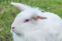 逗人喜爱的新西兰白色兔子,在绿草的狮子顶头兔子 库存照片
