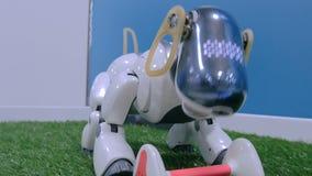 逗人喜爱的日本机器人狗设法劫掠骨头