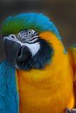 逗人喜爱的明亮的五颜六色的鹦鹉 免版税库存图片