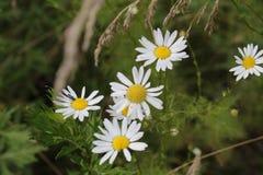 逗人喜爱的春黄菊 库存图片
