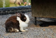 逗人喜爱的松弛兔子有自然背景 库存照片