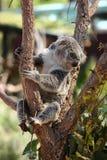 逗人喜爱的树袋熊坐树枝 库存图片