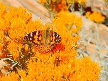 逗人喜爱的桔子在橙色布什的被伪装的蝴蝶 图库摄影