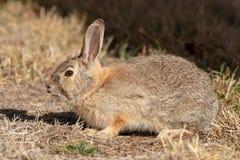 逗人喜爱的棉尾巴兔子 库存照片