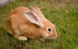 逗人喜爱的棕色兔宝宝房子宠物 免版税库存照片