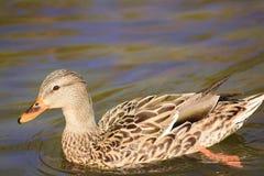 逗人喜爱的棕色和棕褐色的鸭子游泳在池塘 免版税图库摄影