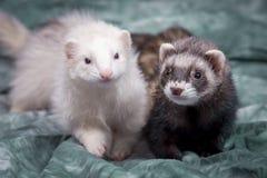 逗人喜爱的棕色和白色白鼬 库存照片