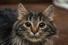 逗人喜爱的棕色平纹小猫调查的室 小猫嗅空气 库存照片