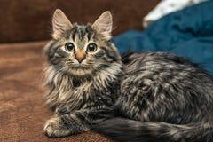 逗人喜爱的棕色平纹小猫调查的室 小猫嗅空气 库存图片