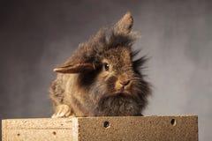 逗人喜爱的棕色狮子头兔子兔宝宝开会 免版税库存图片