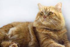 逗人喜爱的棕色猫宠物开会,看照相机特写镜头的可爱的小猫 免版税图库摄影