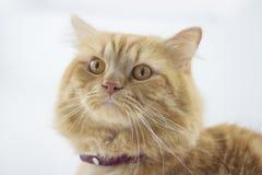 逗人喜爱的棕色猫宠物开会,看照相机特写镜头的可爱的小猫 图库摄影
