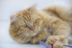逗人喜爱的棕色猫宠物开会,看照相机的可爱的小猫演奏特写镜头 免版税库存图片