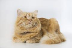 逗人喜爱的棕色猫宠物开会,看照相机的可爱的小猫 免版税图库摄影
