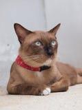 逗人喜爱的棕色猫放下和凝视对某事 免版税库存图片