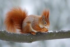逗人喜爱的橙红灰鼠吃在冬天场面的一枚坚果与雪,捷克共和国 免版税库存图片