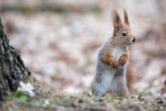 逗人喜爱的欧亚在秋天叶子的红松鼠中型松鼠寻常的立场在树附近和神色纠正 灰鼠掩藏大N 免版税库存照片