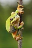 逗人喜爱的欧洲绿色雨蛙 免版税库存照片