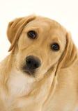 逗人喜爱的母拉布拉多小狗 免版税库存图片