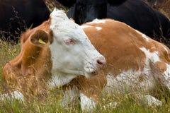 逗人喜爱的母牛 免版税库存图片