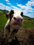 逗人喜爱的母牛 库存图片