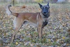 逗人喜爱的比利时护羊狗在秋天公园站立 关闭 宠物 图库摄影