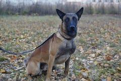 逗人喜爱的比利时护羊狗坐秋天草甸 关闭 宠物 免版税库存照片
