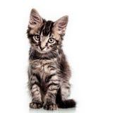 逗人喜爱的毛茸的小猫 库存照片