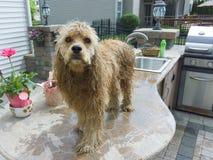逗人喜爱的水滴湿金黄猎犬小狗 免版税库存照片