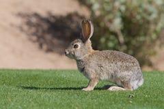 逗人喜爱的沙漠棉尾巴兔子 库存图片