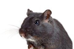 逗人喜爱的沙鼠一点 免版税图库摄影