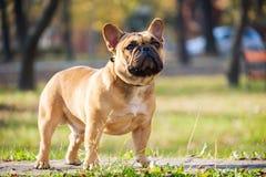 逗人喜爱的法国牛头犬 免版税库存照片