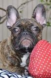 逗人喜爱的法国牛头犬小狗以过敏002 库存照片