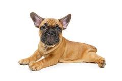 逗人喜爱的法国牛头犬小狗 免版税图库摄影
