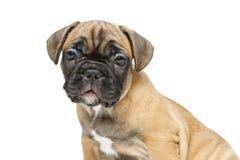 逗人喜爱的法国牛头犬小狗 库存照片
