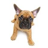 逗人喜爱的法国牛头犬小狗 免版税库存照片