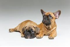 逗人喜爱的法国牛头犬小狗 免版税库存图片
