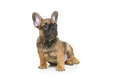 逗人喜爱的法国牛头犬小狗 库存图片