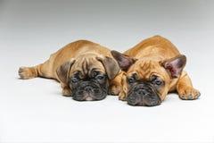 逗人喜爱的法国牛头犬小狗 图库摄影