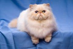 逗人喜爱的波斯奶油色colorpoint猫在蓝色背景说谎 免版税图库摄影