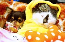 逗人喜爱的波斯猫、小犬座和一只仓鼠Yutafamily在宠物品种事件 图库摄影