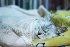 逗人喜爱的波斯语加上缅因在床上的树狸猫睡眠 库存照片
