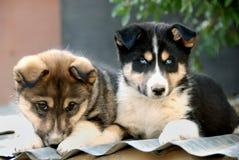逗人喜爱的注视的小狗 免版税库存照片